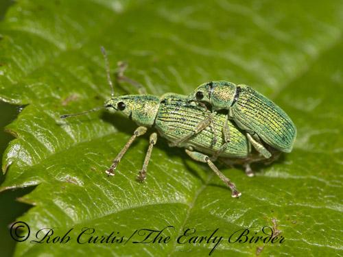 9035940 weevils - Polydrusus formosus - male - female