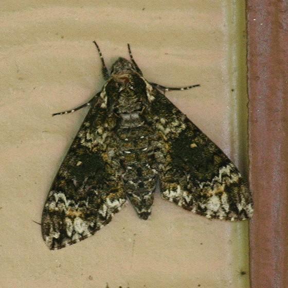Unidentified Moth - Dolba hyloeus