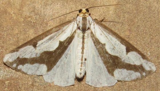 Leconte's Haploa - Hodges#8111 - Haploa lecontei