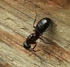 carpenter ant and predator - Camponotus