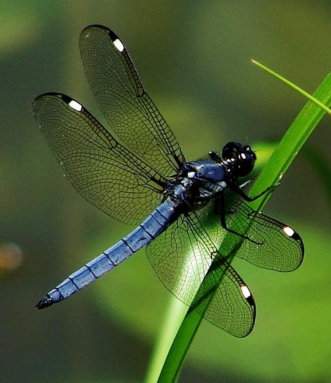 Dragonfly - Libellula cyanea - male
