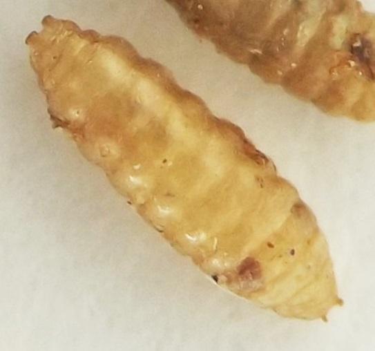 Nettle stem puparia - Phytomyza flavicornis