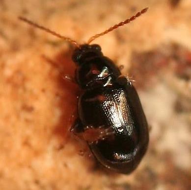 Flea Beetle? & mite - Nesaecrepida asphaltina