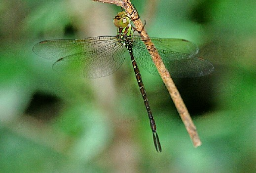 Unidentified Female Dragonfly - Tricanthagyna trifida - female