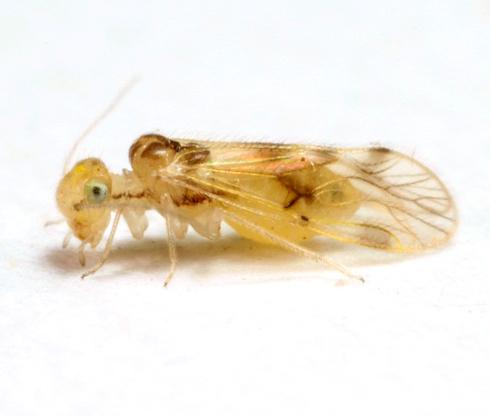 Pseudocaecilius citricola (Ashmead) - Pseudocaecilius citricola - female