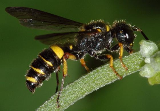 Weevil Wasp - Cerceris halone - female