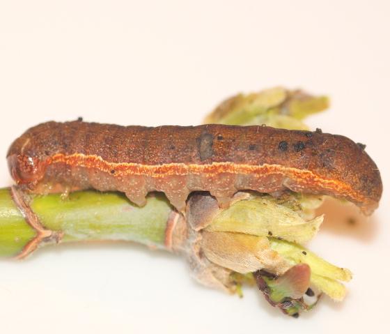 Noctuid caterpillar feeding on red maple seeds - Sericaglaea signata