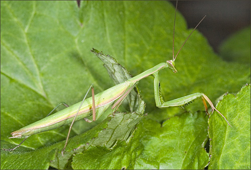 European Mantid  - Mantis religiosa - Mantis religiosa
