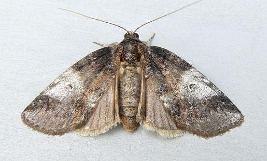 Pennsylvania Moth - Baileya levitans