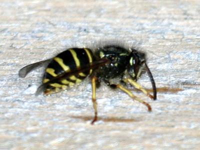 Northern Aerial Yellowjacket  - Dolichovespula norvegicoides - female