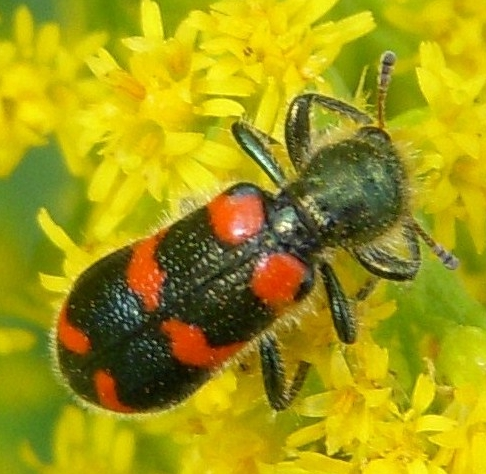 Red and Black Beetle on Euthamia Flowers - Trichodes nuttalli