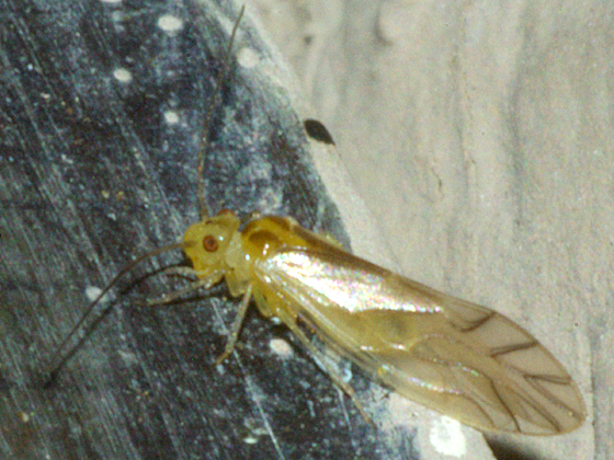 Lizard Barklouse - Valenzuela flavidus