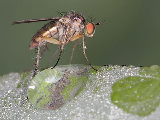 Dolichopus - female