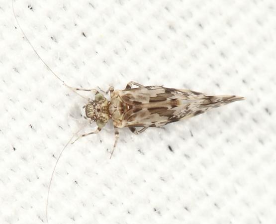 Barklouse - Trichadenotecnum slossonae