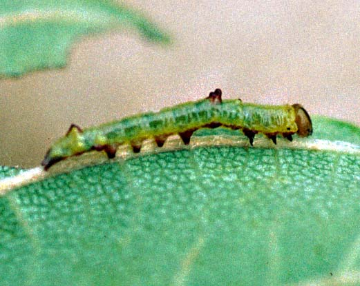 Double-Toothed Prominent 2nd Instar Larva - Nerice bidentata