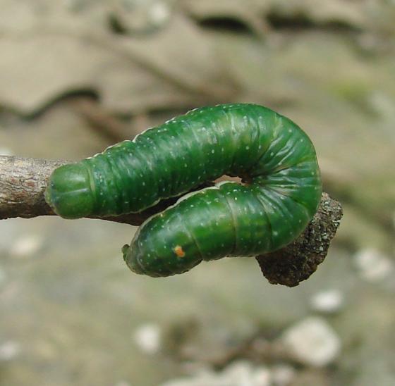 Notodontidae, larva, dorsal - Paraeschra georgica