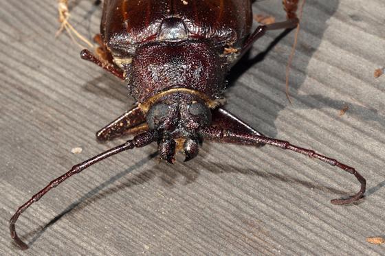 Trichocnemis spiculatus? and unid. egg cluster - Trichocnemis - female