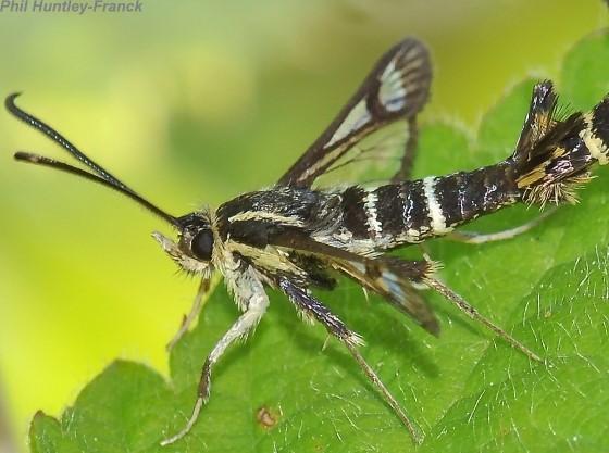 Moth - Synanthedon bibionipennis - male