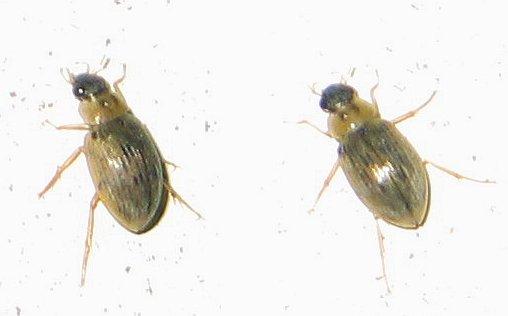 football-shaped beetle - Berosus