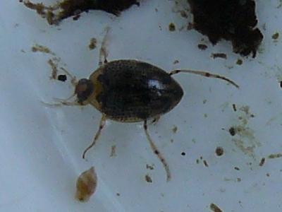 Water beetle? - Peltodytes edentulus