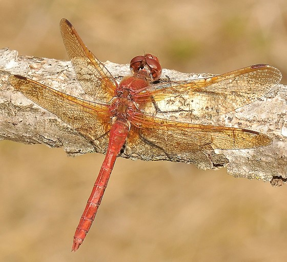 Dragonfly - Sympetrum madidum - male