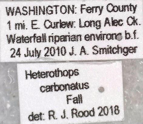 Heterothops carbonatus Fall - Heterothops carbonatus