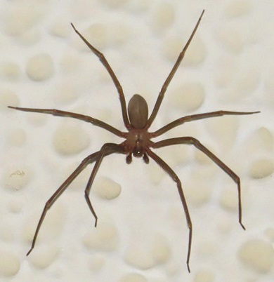 Spider in my house - Loxosceles reclusa