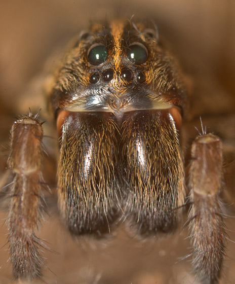 Unknown Wolf Spider - Tigrosa helluo - female