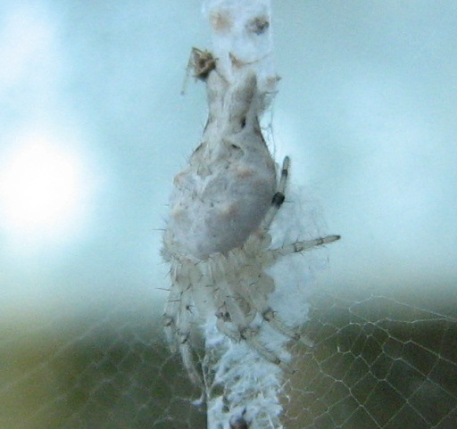 Trashline Spider? - Allocyclosa bifurca