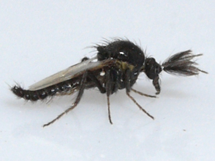 Biting Midge - Forcipomyia brevipennis - male