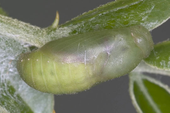 Miami Blue pupa - Cyclargus thomasi