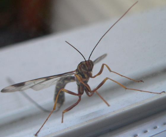 Megarhyssa - Megarhyssa macrurus - female