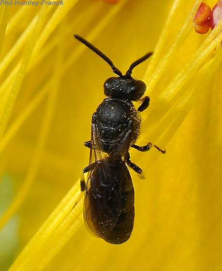 Bee or Wasp - Hylaeus - male