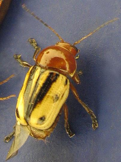 white-black-orange leaf beetle - Cryptocephalus insertus