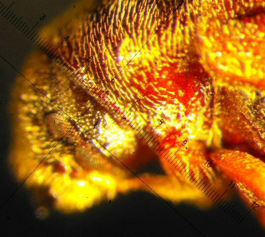 Phloesinus sequoiae (Hopkins) - Phloeosinus sequoiae