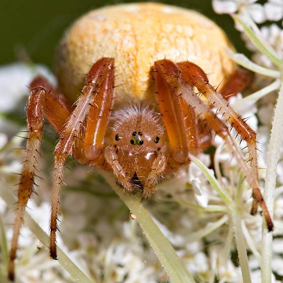 Spider from Goldenrod - Araneus marmoreus - female