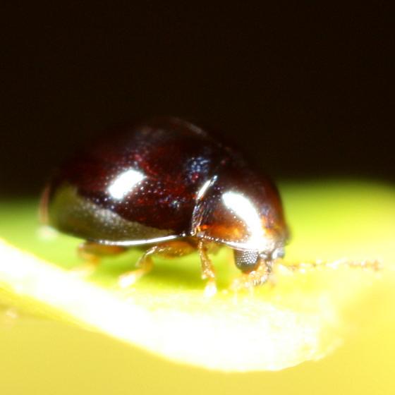 Tiny beetle - Holopsis marginicollis