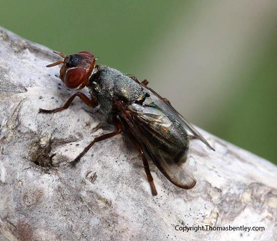 Fly - Senopterina