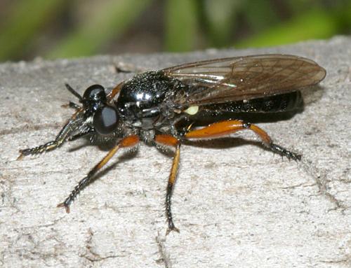 Robber Fly - Laphria sadales - female