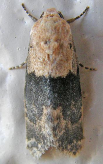 Half-black Aleptina - Aleptina semiatra