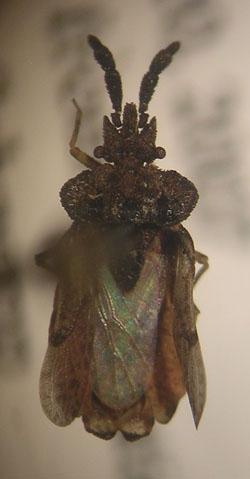 Aradus ornatus Say - Aradus ornatus