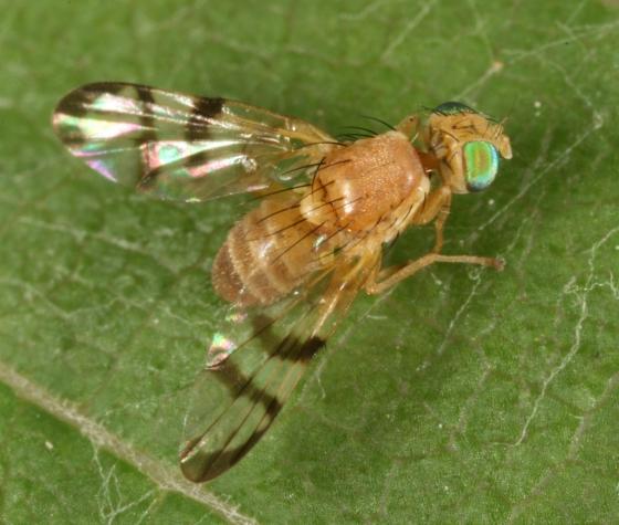 fly 132 - Rhagoletis juglandis