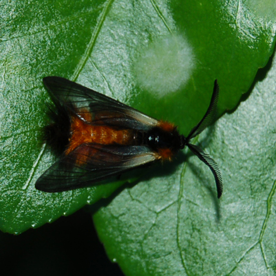 Help large swarms all day - Pryeria sinica - male