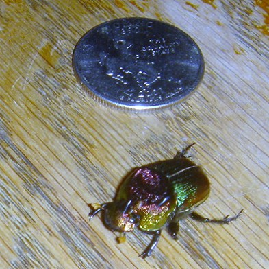 Iridescent green/gold/bronze beetle - Phanaeus vindex