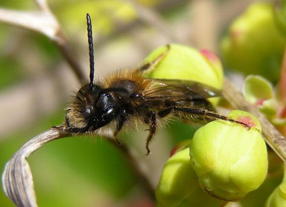 Small Hymenopteran - Andrena - male