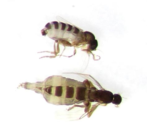 Metopina - male - female