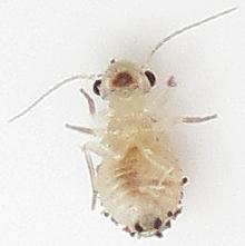 Found on Holly - Psocus leidyi