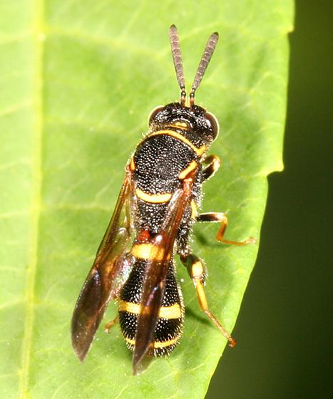 Chalcid Wasp - Leucospis affinis - male