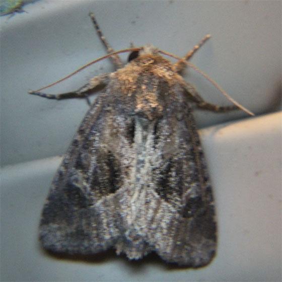 Unknown Moth - Oligia obtusa
