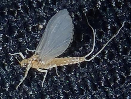 tiny mayfly #2 - Anafroptilum - female